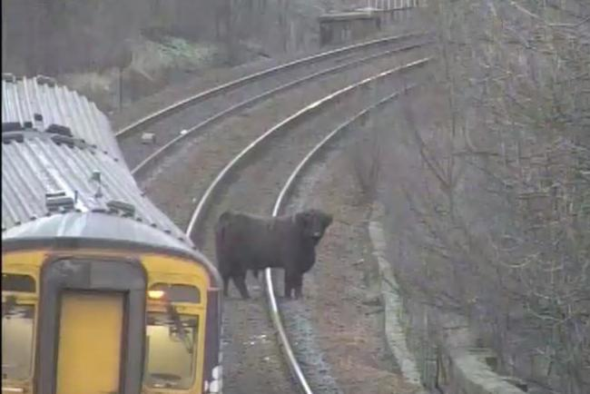 A Highland cow on the railway line