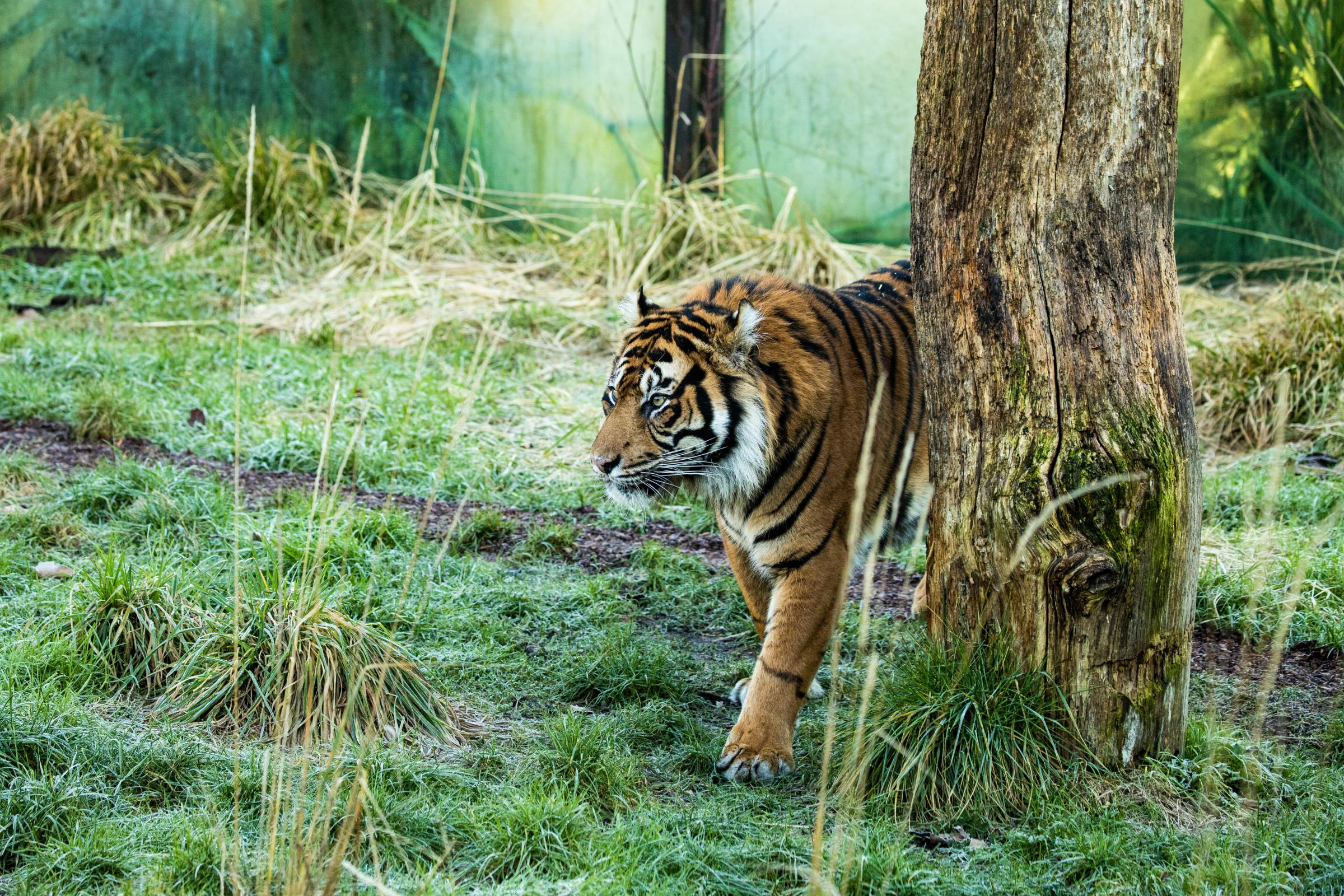 New Sumatran tiger arrives at London Zoo